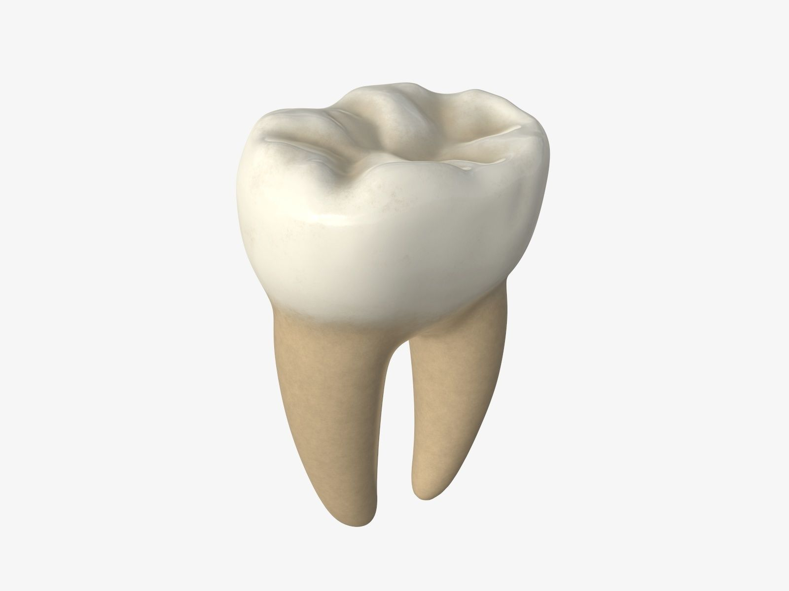 Tooth molars
