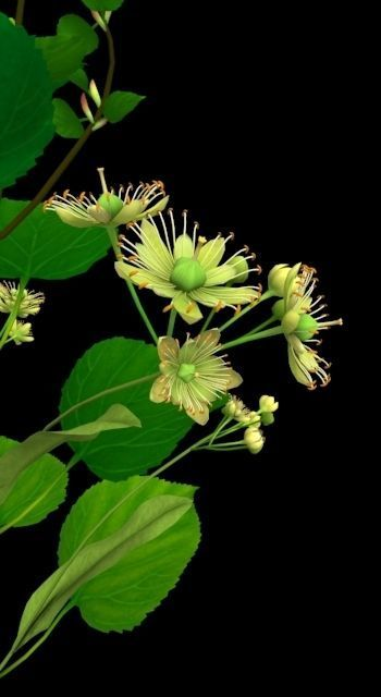 Flower Tilia Cordata