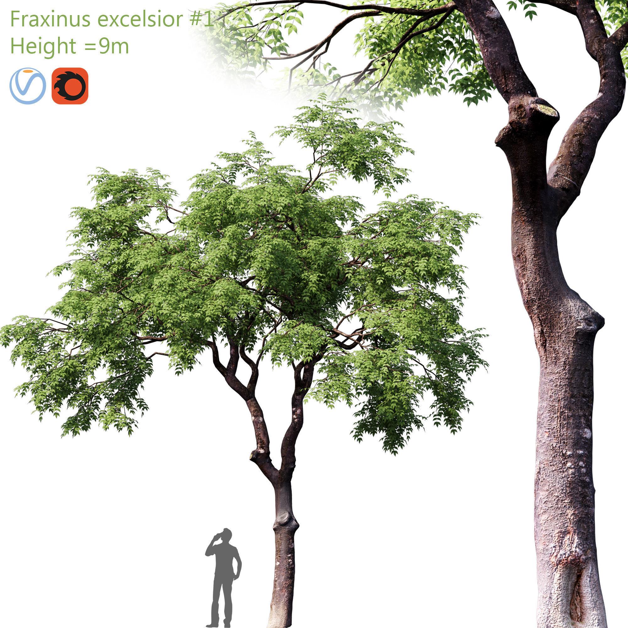 Fraxinus excelsior 01