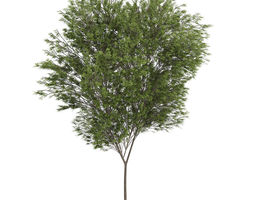 3D model Common beech
