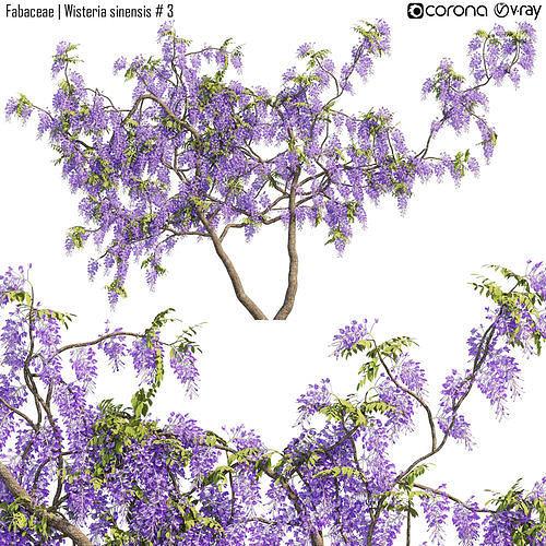 Fabaceae - Wisteria sinensis 3