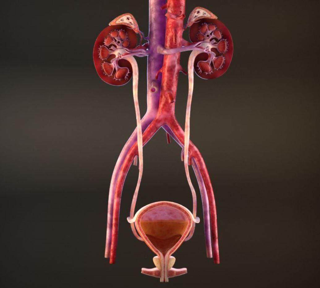 Urinary Kidney System