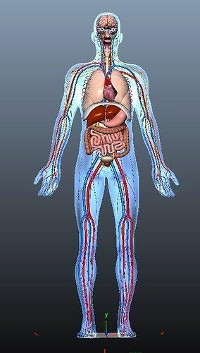Human Anatomy 3d Asset Animated Cgtrader