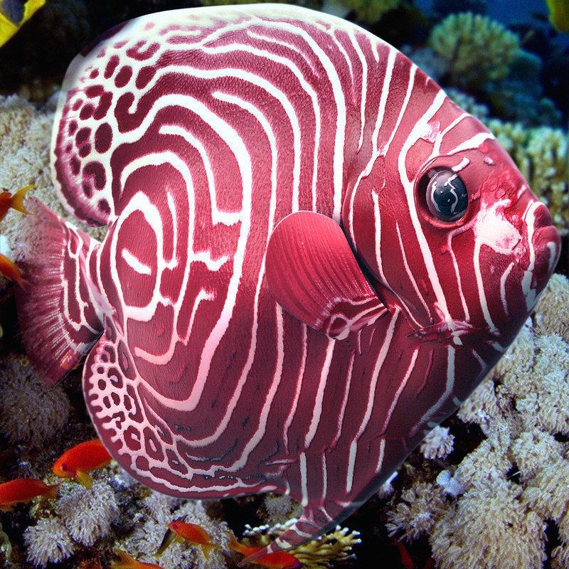Angelfish Red