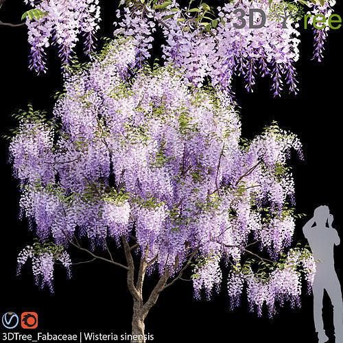 Fabaceae - Wisteria sinensis 04