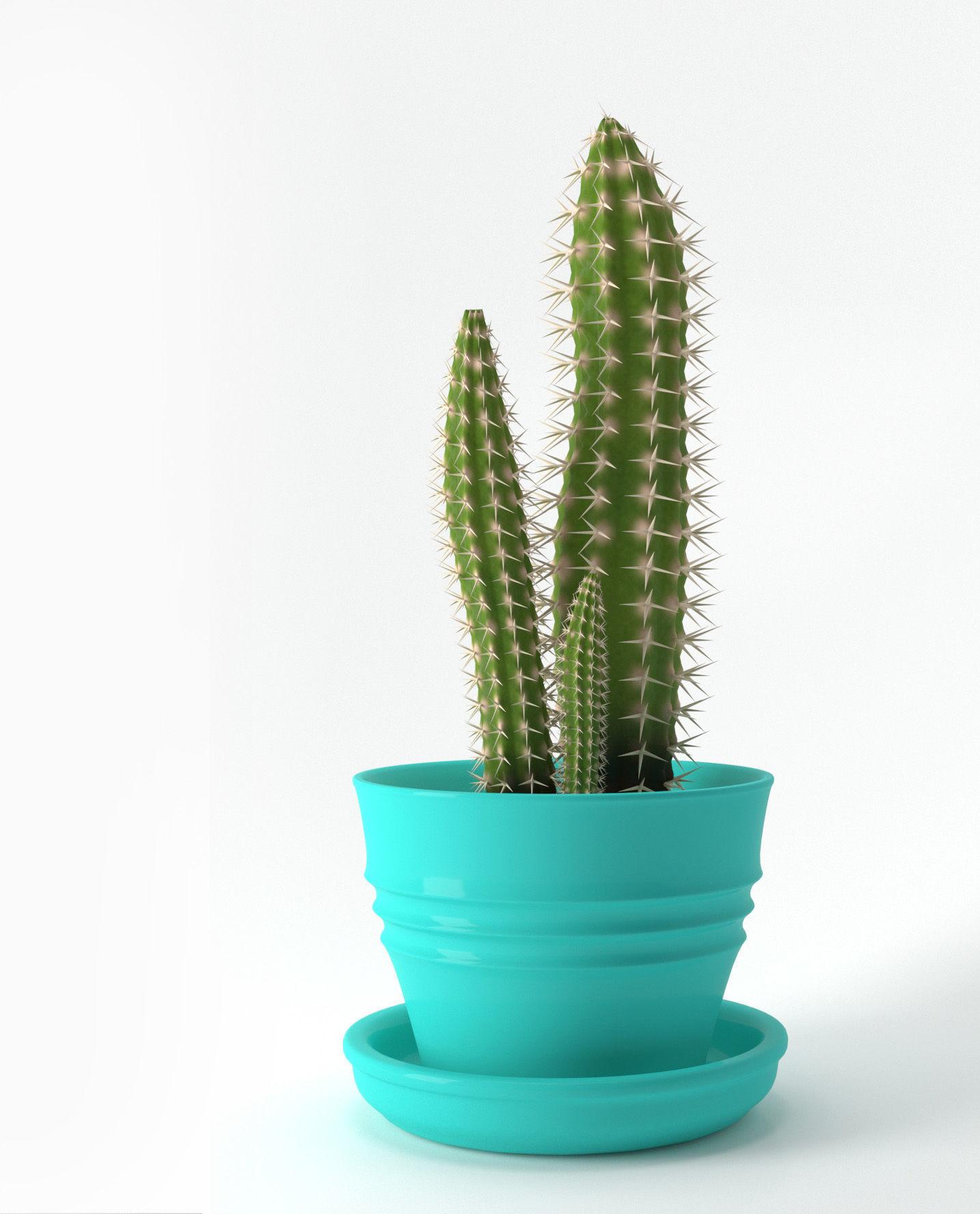 Cereus Cactus