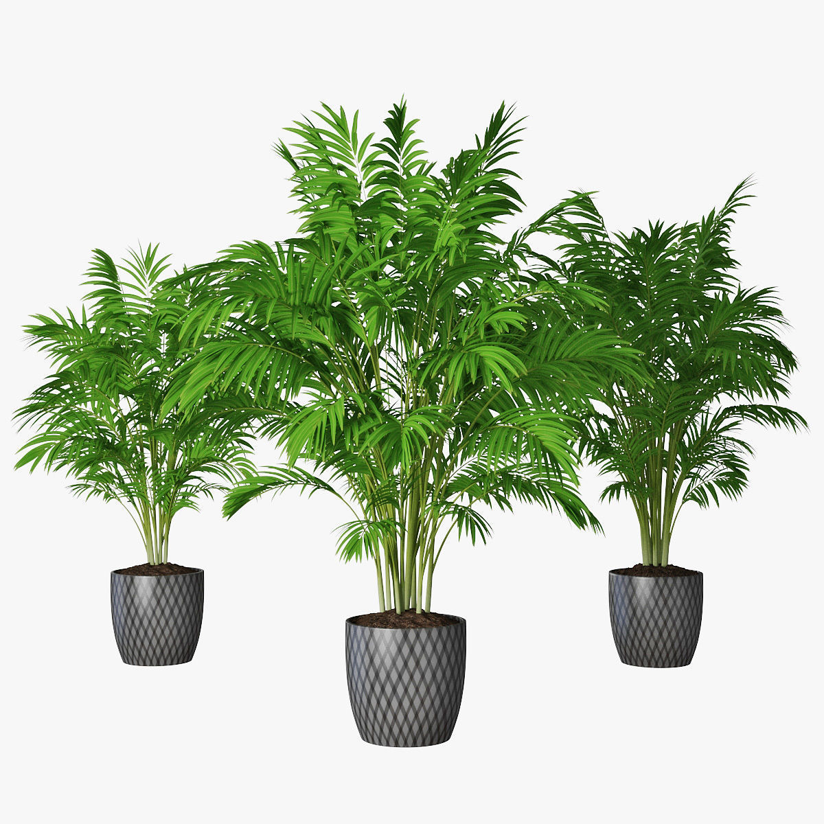 Palm 16