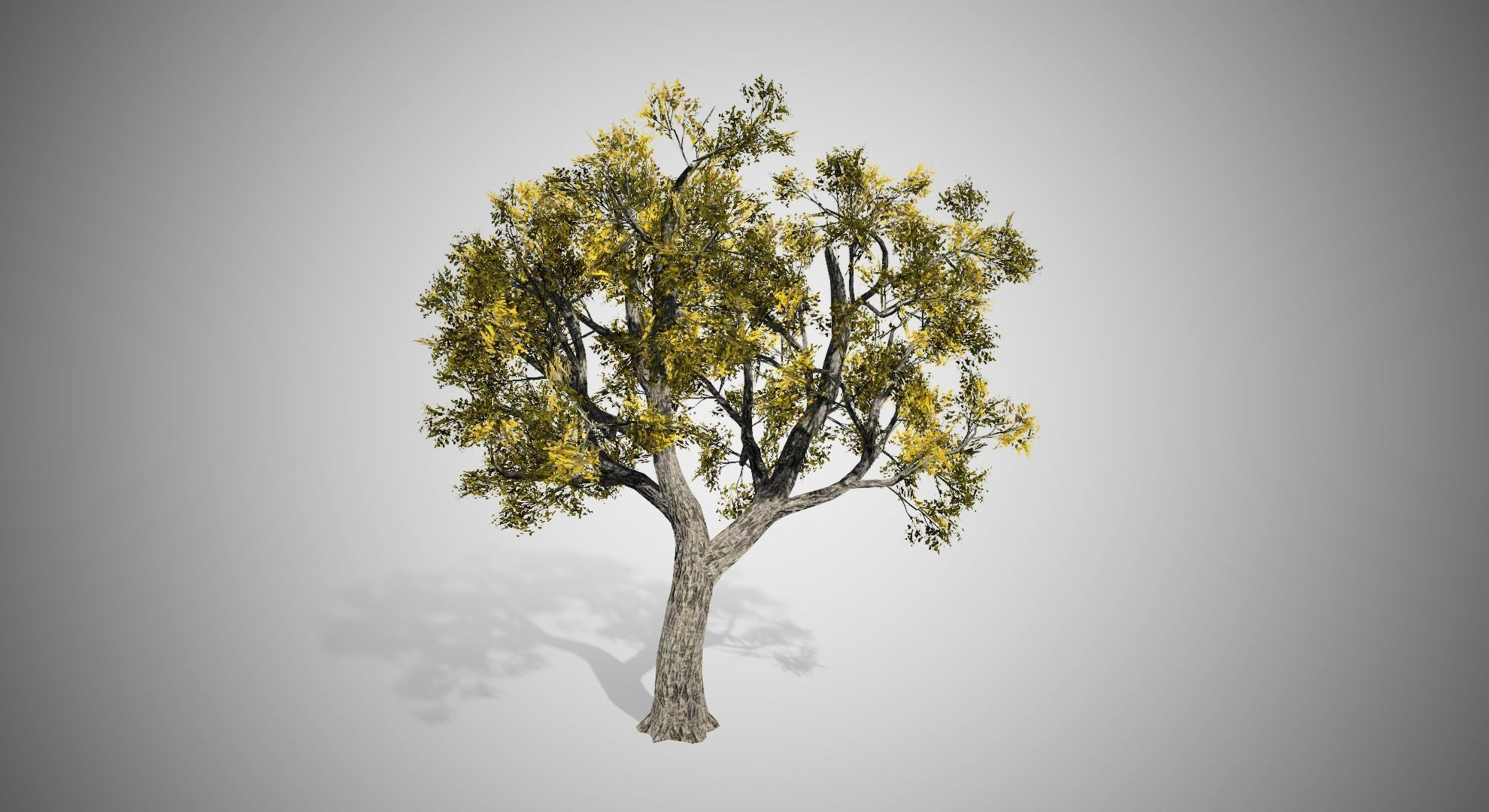 Amur Cork Tree Fall