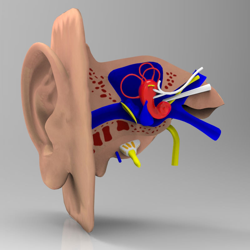 Human Ear Section Studio Max obj 3D   CGTrader