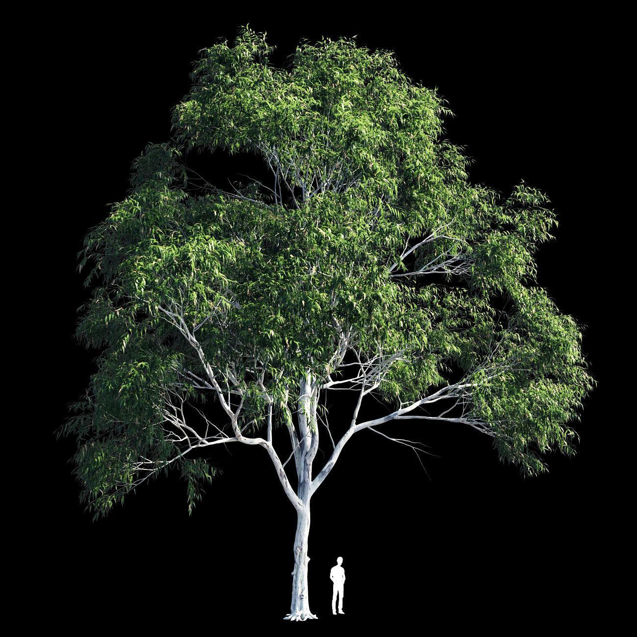 Eucalyptus 10