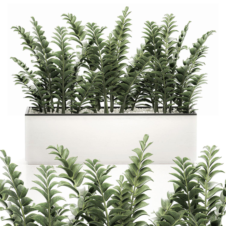 Zamioculcas in pots for the interior 534