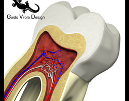 3D Tooth section