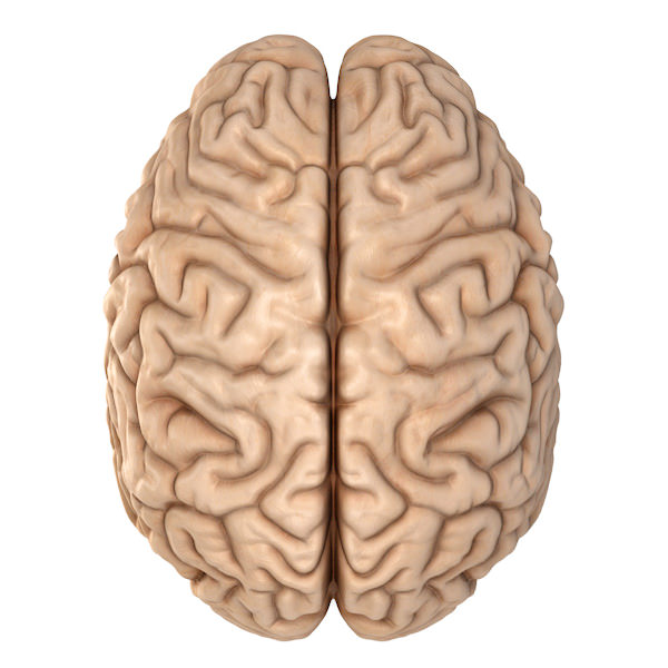 Accurate Human Brain 3d Model Cgtrader