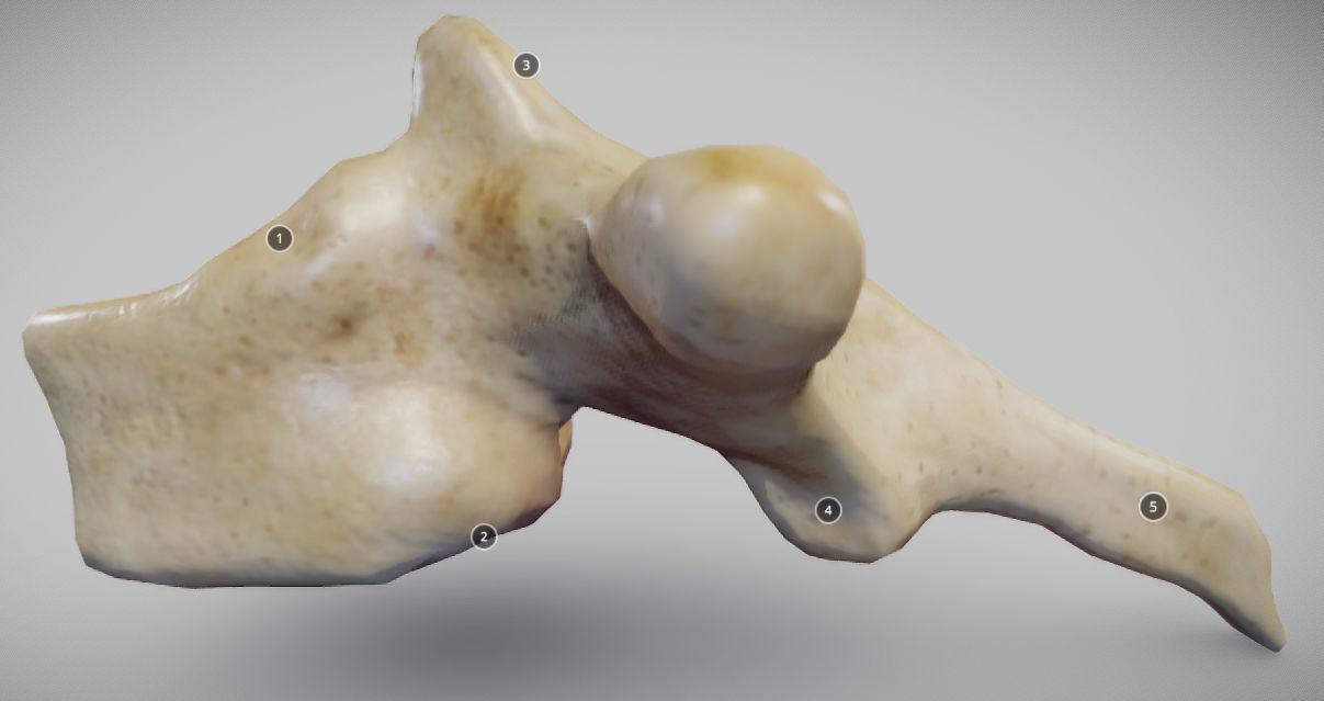 Human Thoracic Vertebra
