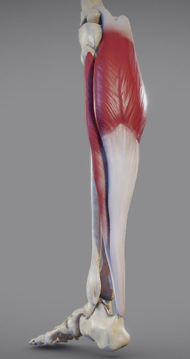 Leg Muscles - Posterior Superficial Muscle Group