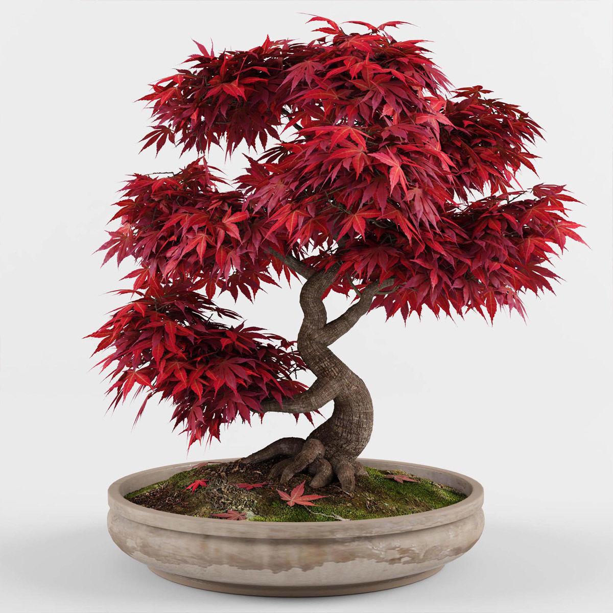 3d Bonsai Japanese Maple Tree Cgtrader