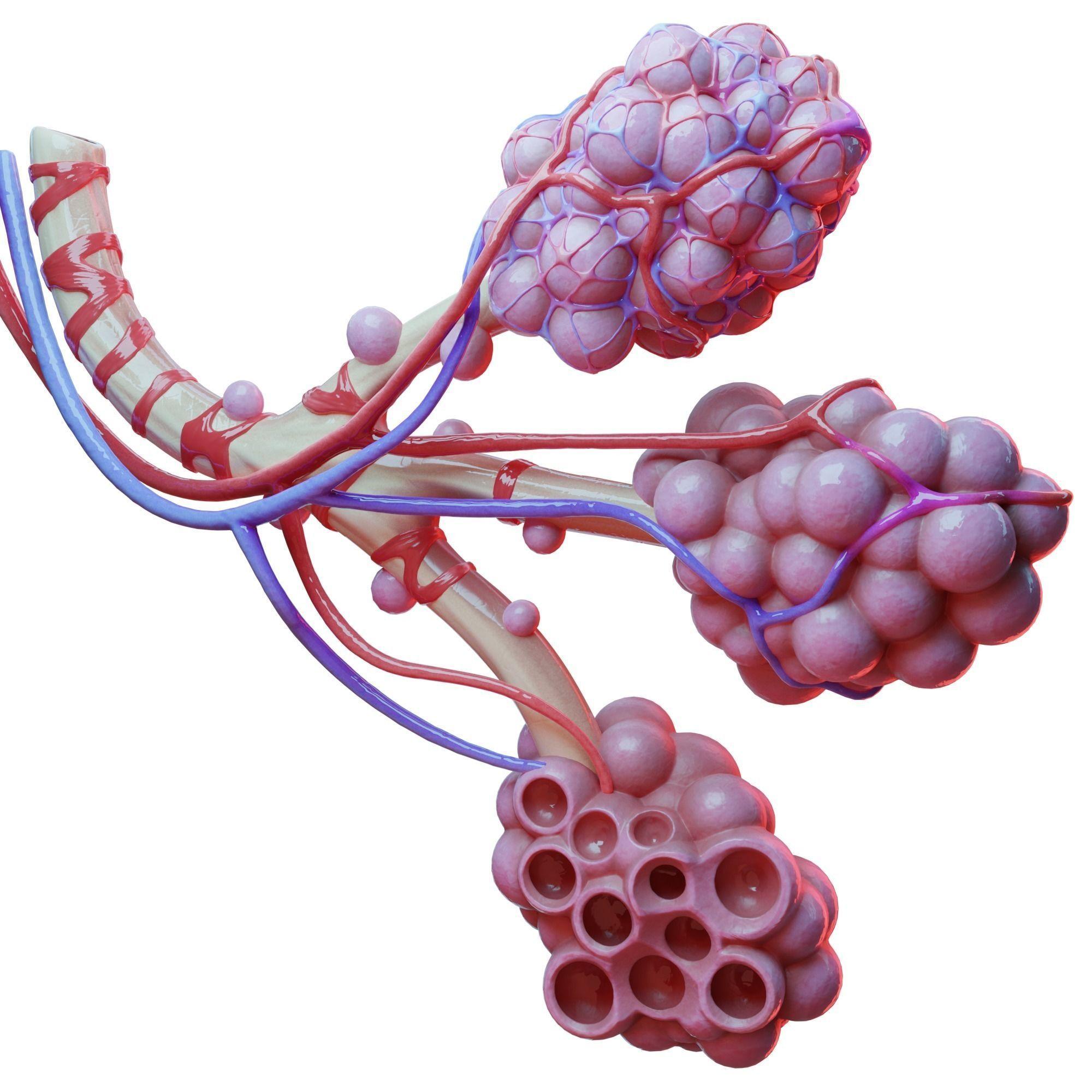 Realistic Human Bronchi Alveoli Anatomy