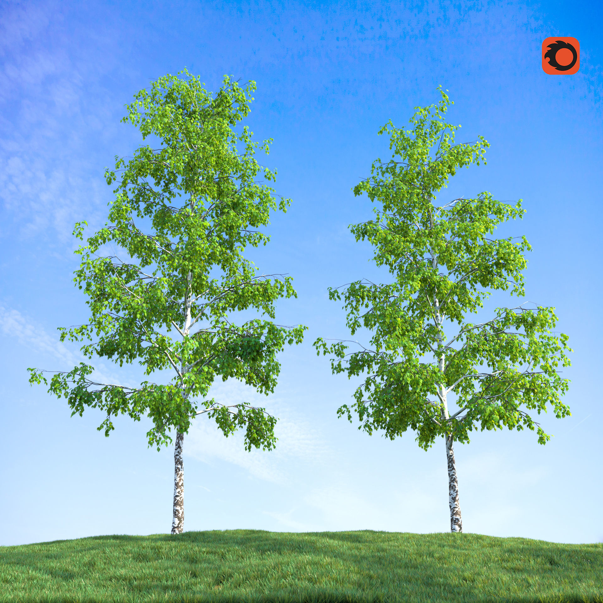 Birch trees with grass