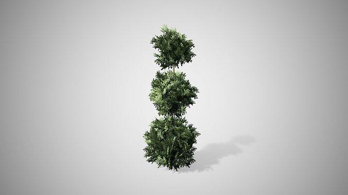 American Boxwood Topiary bush