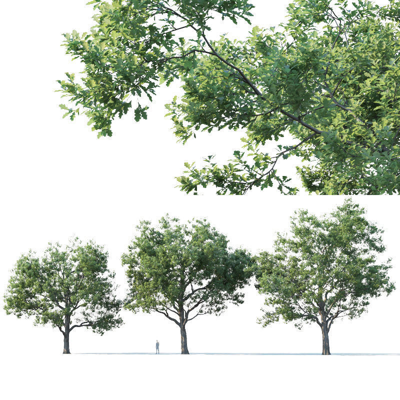 Common oak Nr7 H11-13m Three tree set