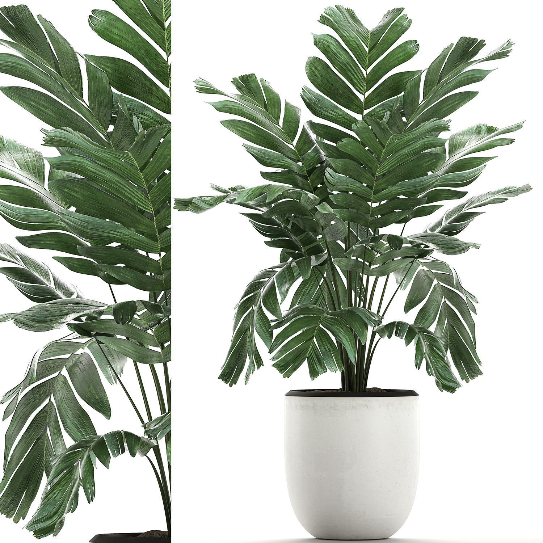 Chamaedorea palm in a white pot for the interior 655