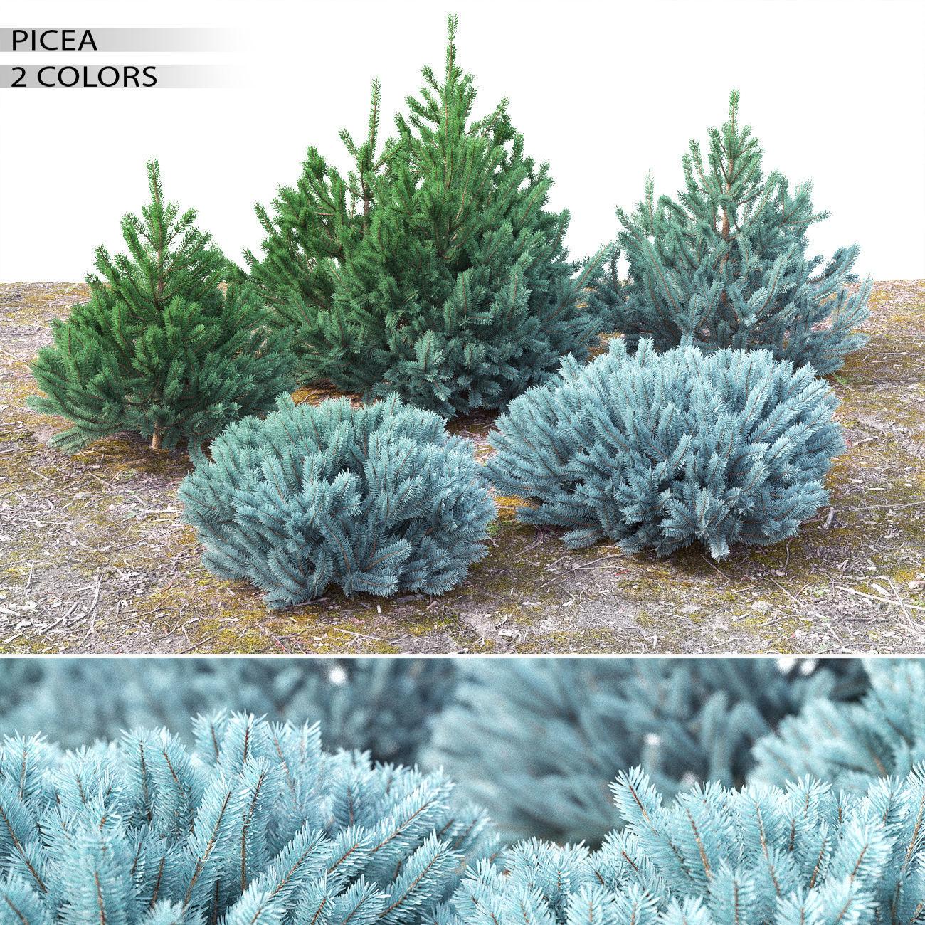 Picea 01