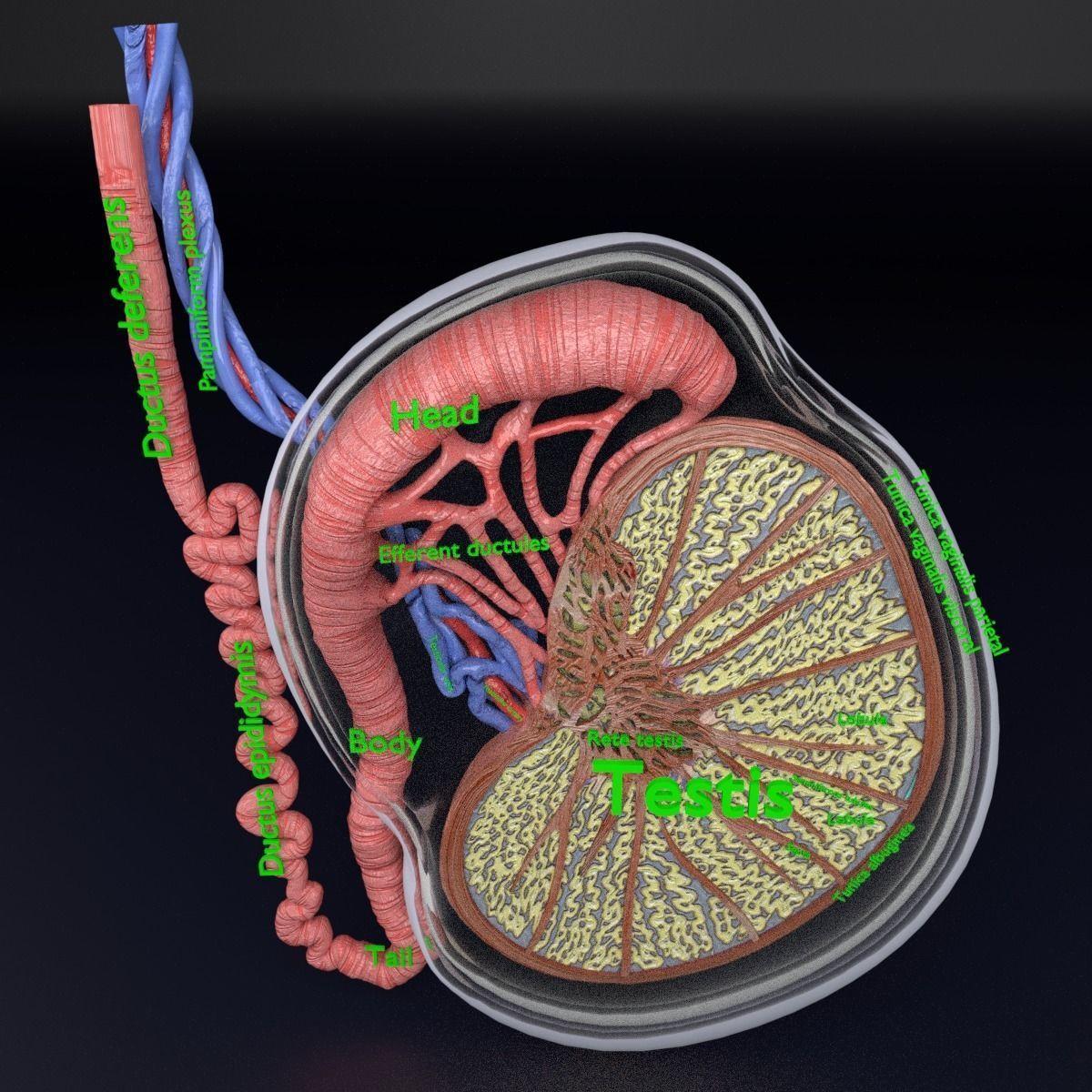 3D Testis Anatomy Histology