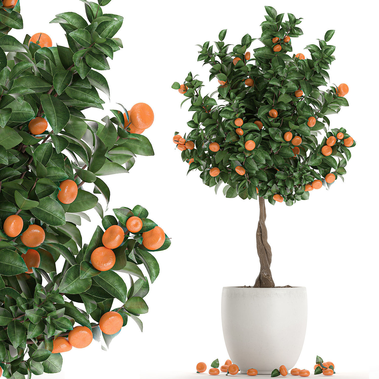 Citrus mandarin tree for the interior in white pot 681