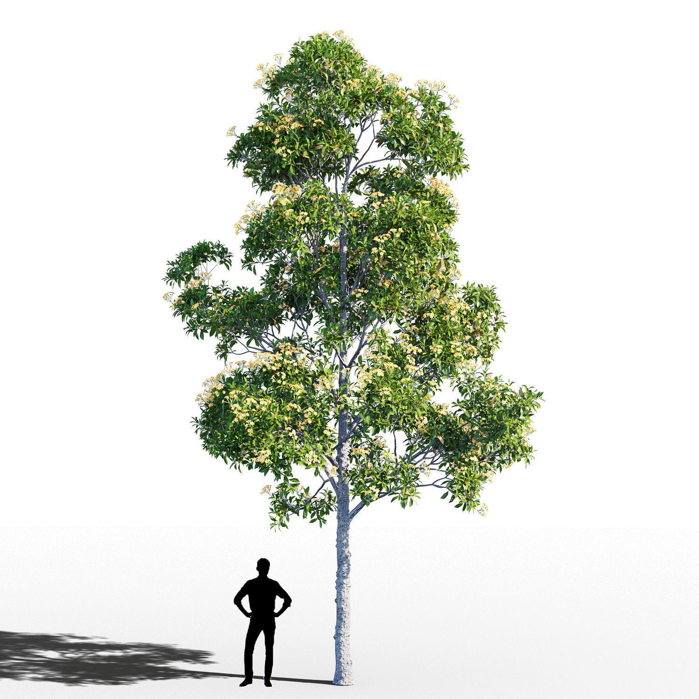 Hymenosporum flavum tree
