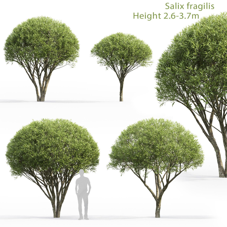 Salix fragilis 01 H2-3m
