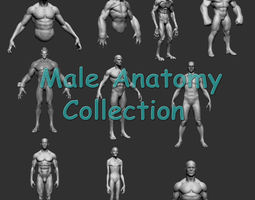3d model male anatomy collection