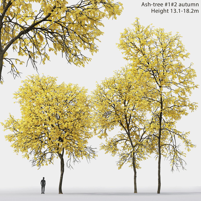 Ash-tree 01 02 autumn H13 18m