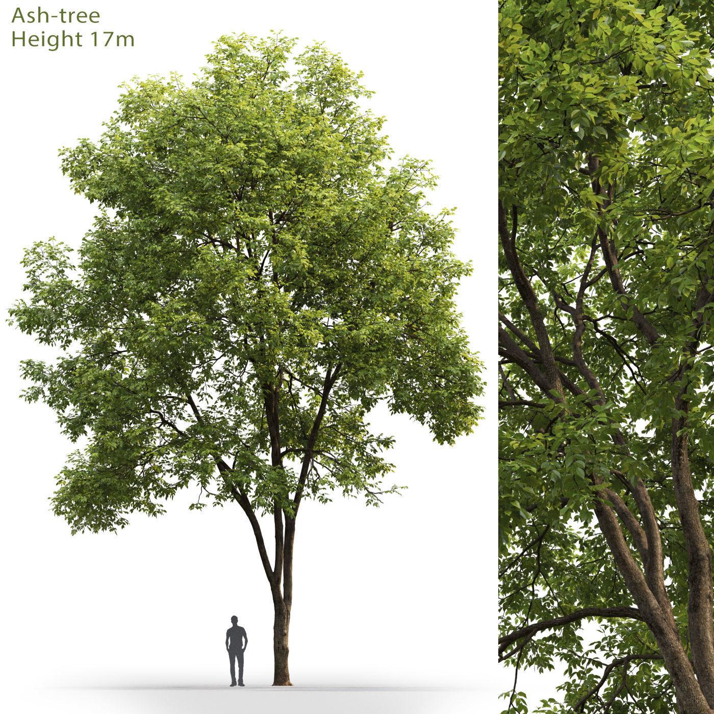 Ash-tree 03 H17m