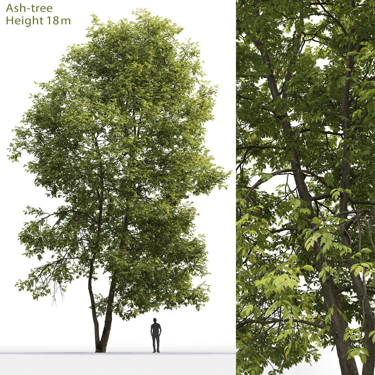 Ash-tree 04 H18m