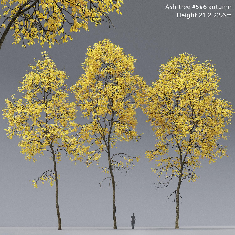 Ash-tree 05 06 autumn H21 22m