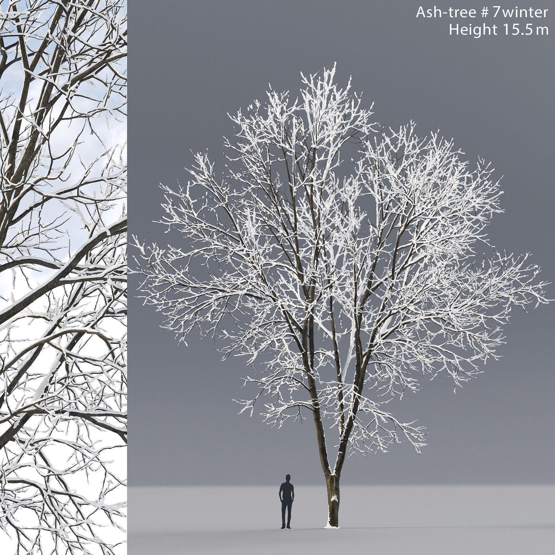 Ash-tree 07 winter H15m