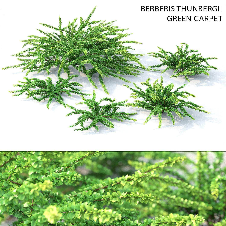 Berberis Green Carpet