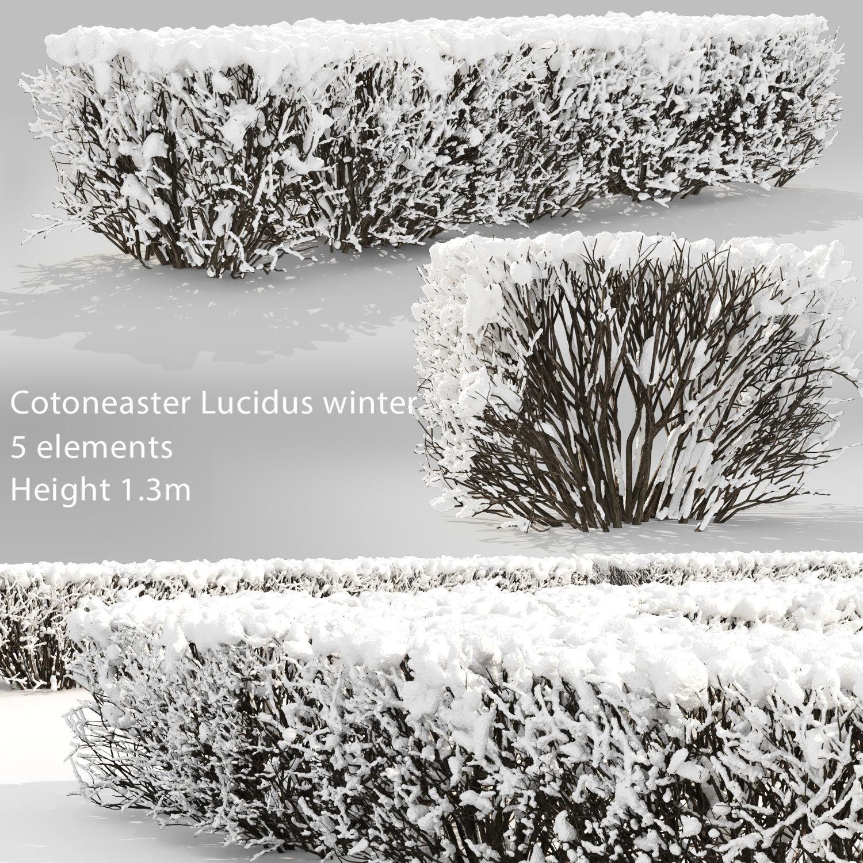 Cotoneaster lucidus hedge 03 winter