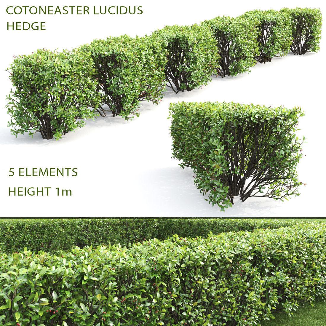 Cotoneaster lucidus hedge 04