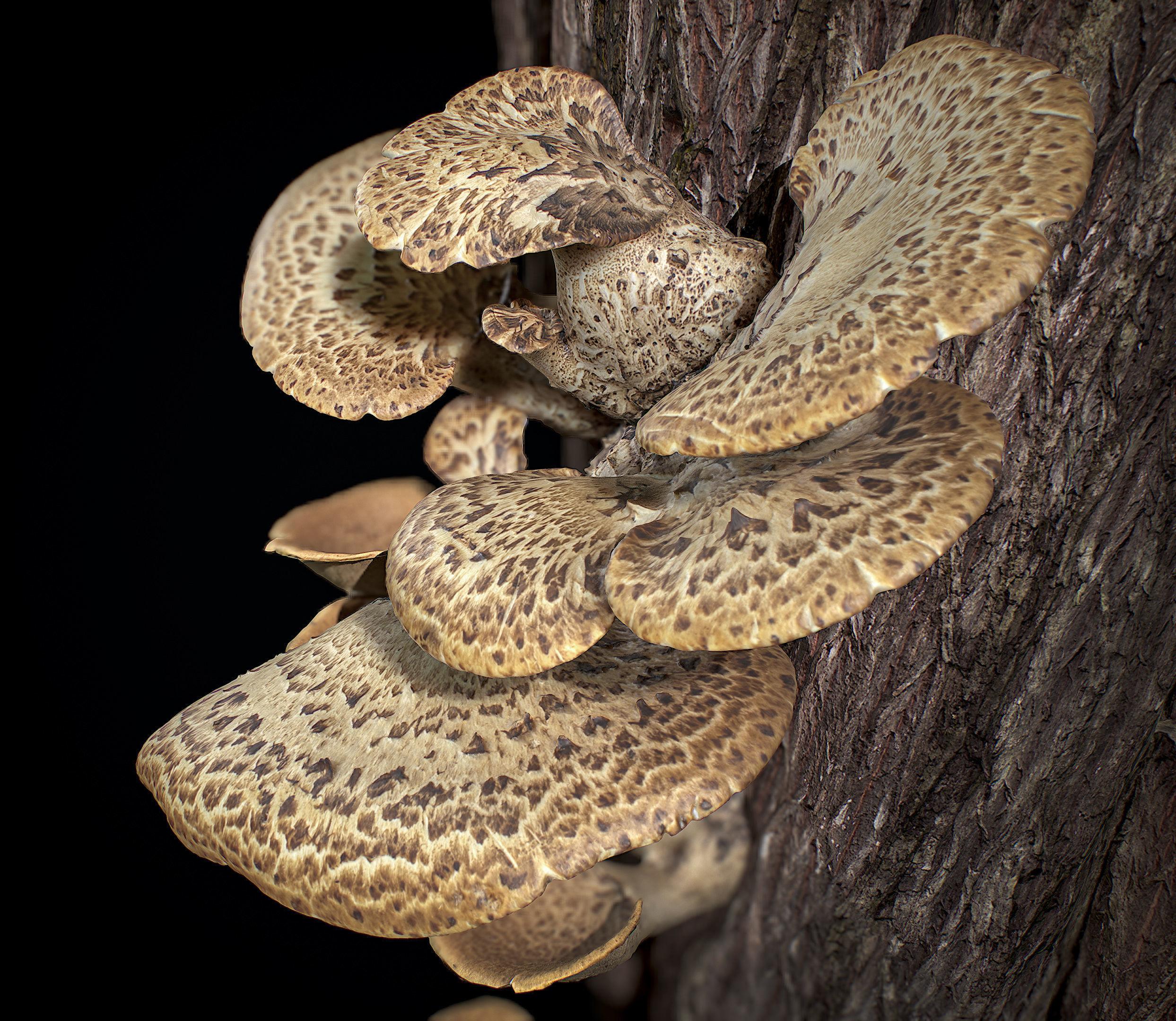 Wood Mushrooms on a Trees - Polyporus Squamosus Fungi