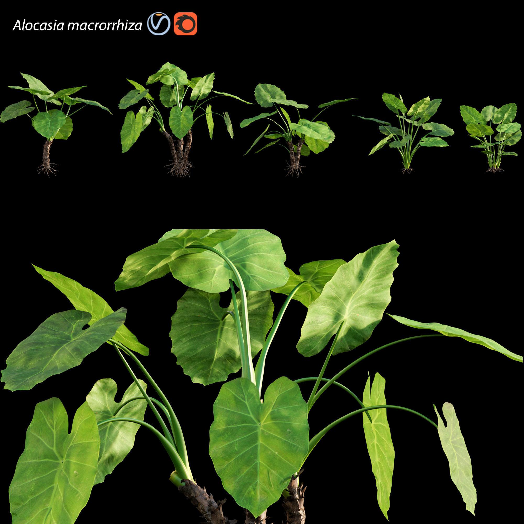 Alocasia macrorrhiza - Elephant Ears