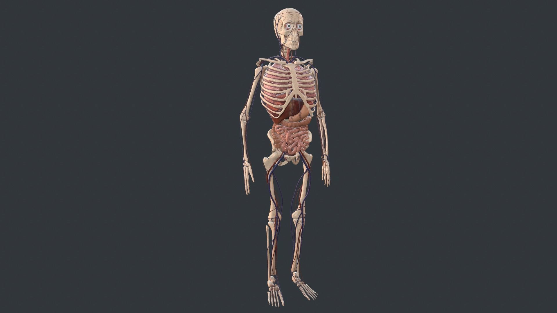Animated Human Body with circulatory system