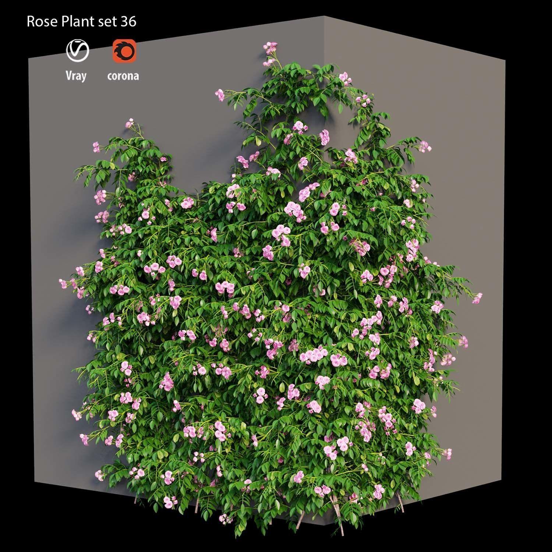 Rose plant set 36