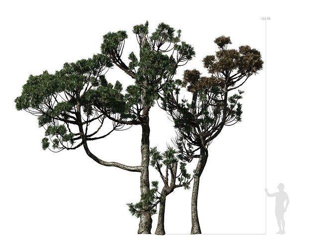 Conifer Tree 004