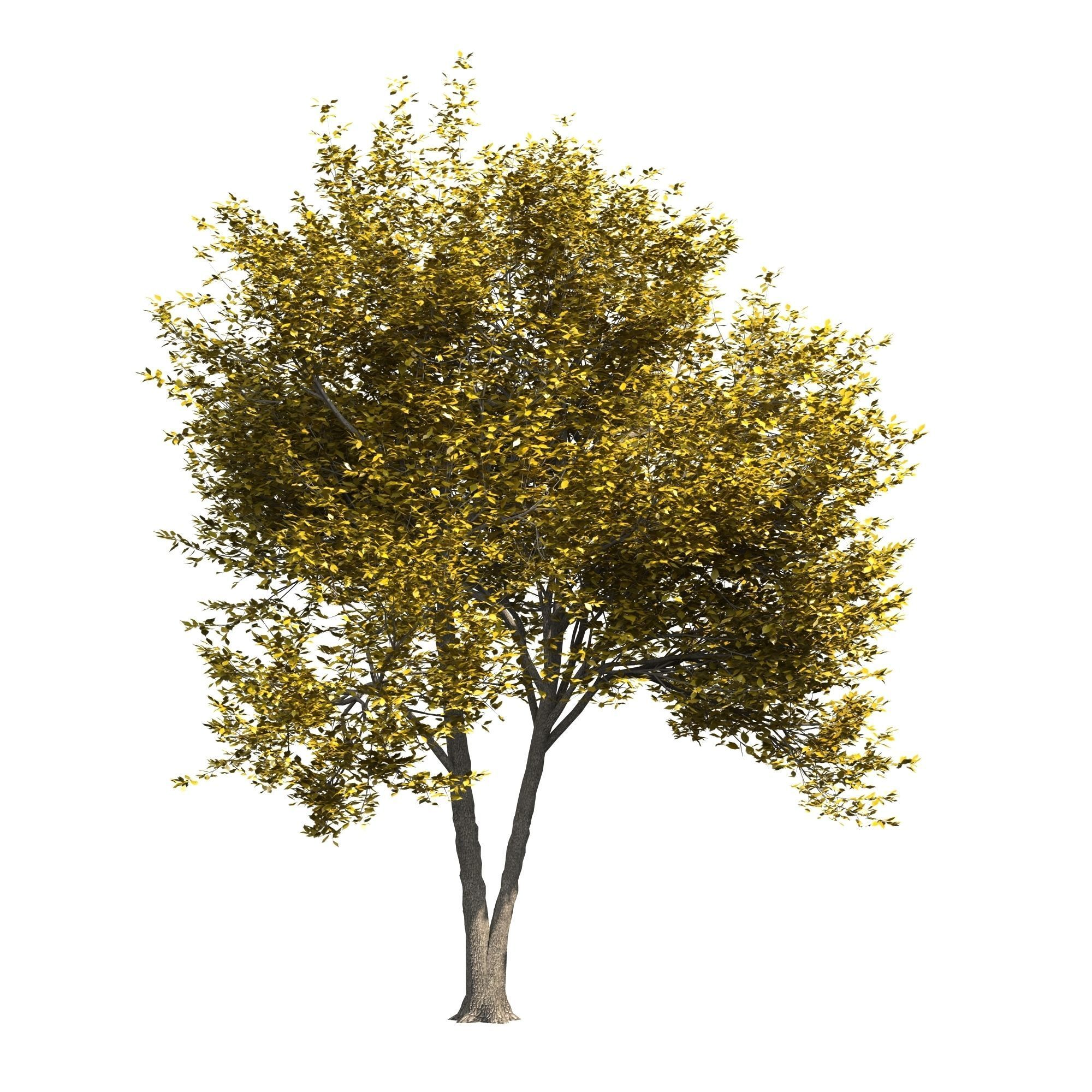 Ash-tree 3