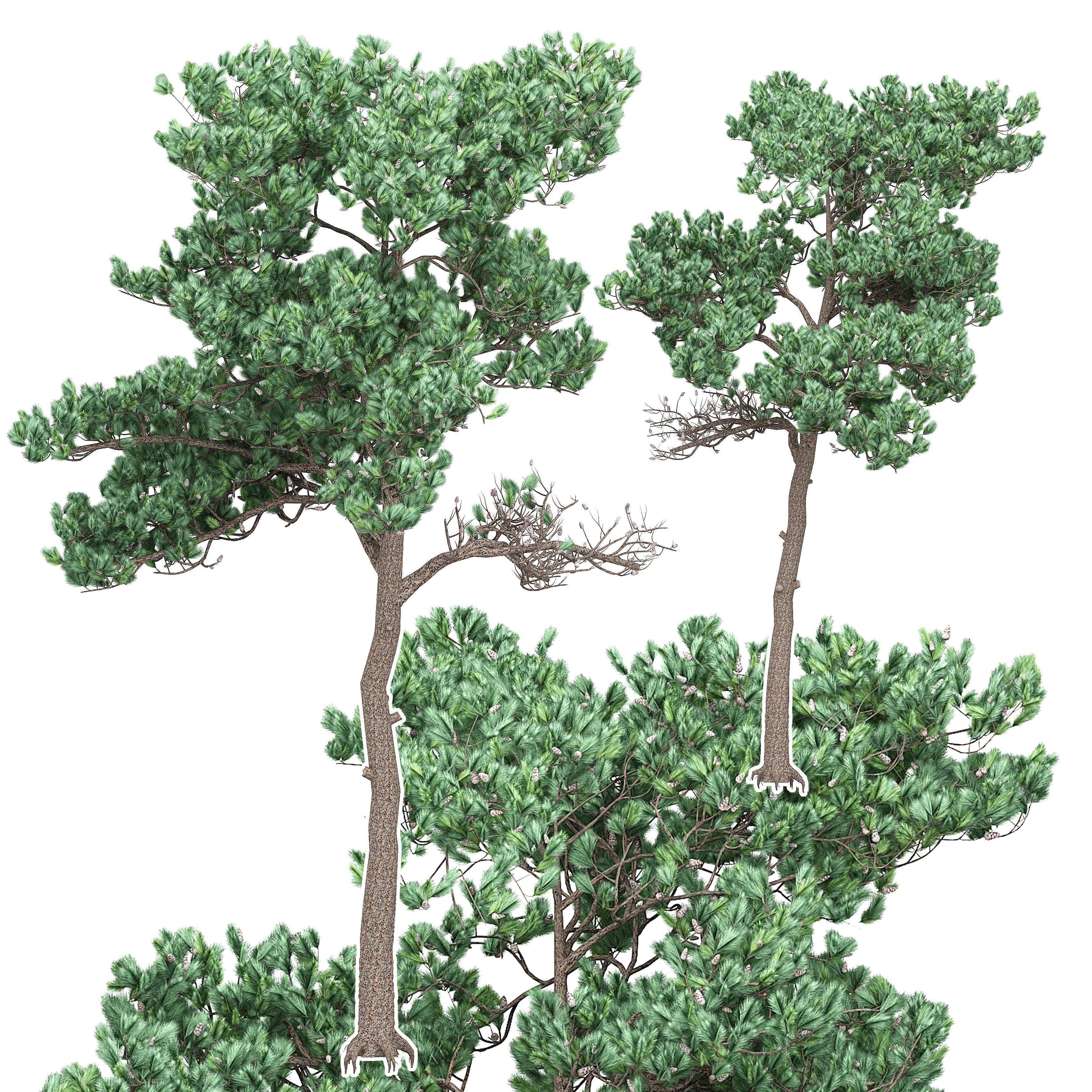 Pine 7