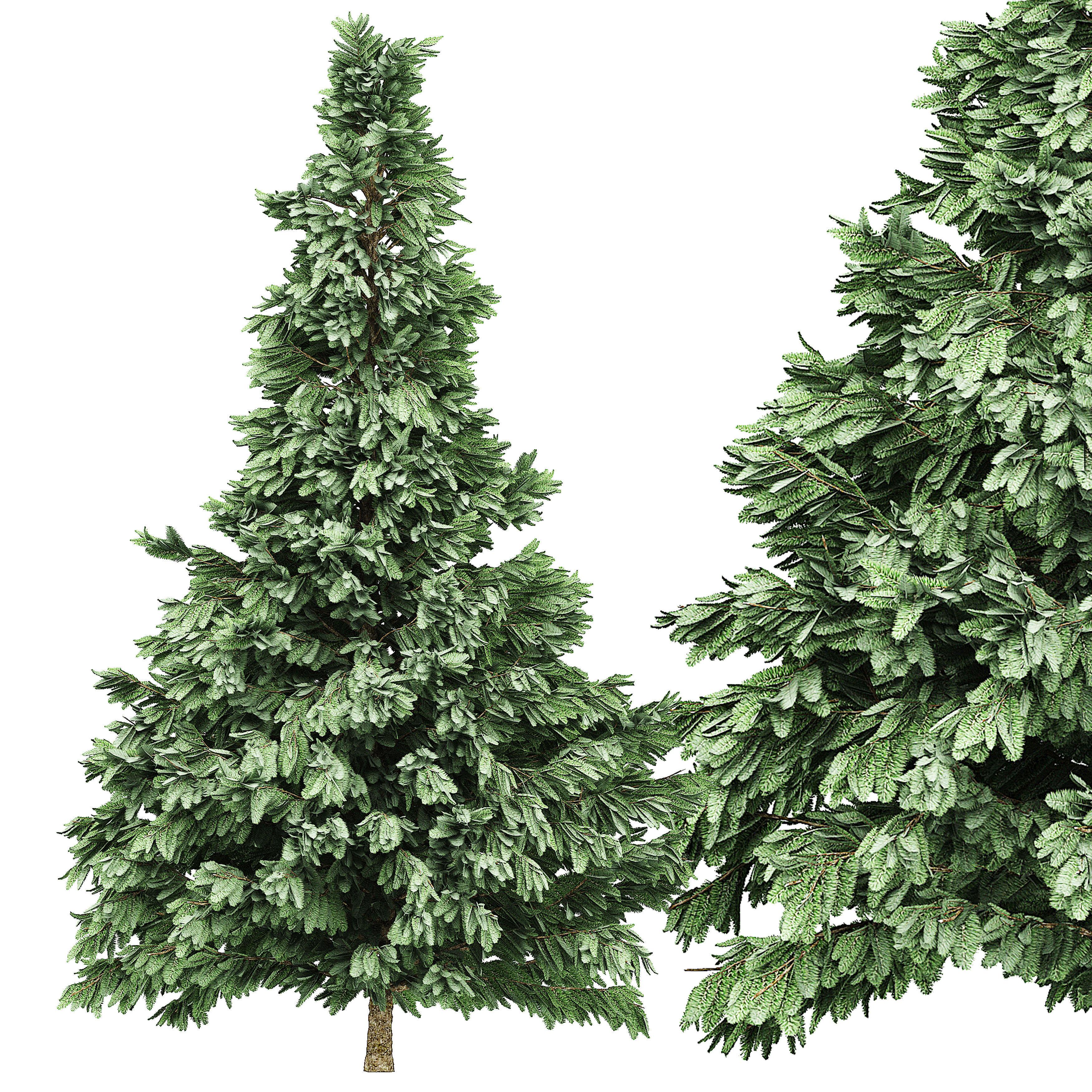 Spruce 5