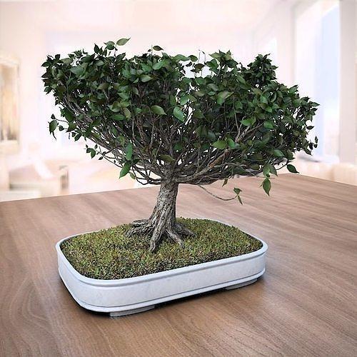 3d American Elm Bonsai Tree 001 Ulmus