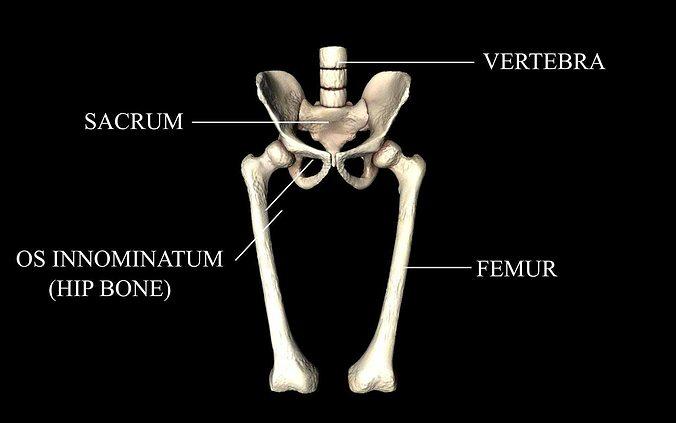 hip joint - hip bone sacrum femur - only bones medically accu... 3d model animated obj mtl 3ds fbx c4d dxf stl 1