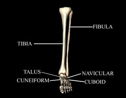 ankle joint bones medically accurate 3d model